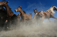 Startled mustangs scatter in the Nevada desert. Horses survive with a flight or fight instinct.