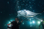 Kona, Big Island of Hawaii, Hawaii; Manta Ray night dive with Jack's Diving Locker