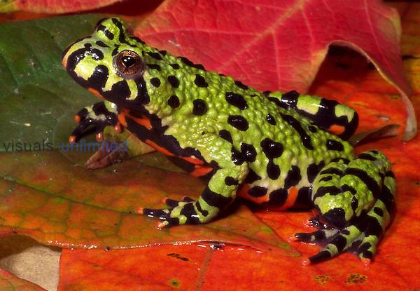 Oriental firebelly toad (Bombina orientalis)