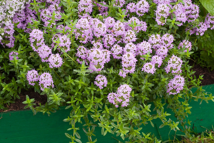 how to grow thyme in the philippines