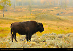 Bison Male at Sunrise, Lamar Valley, Yellowstone National Park, Wyoming