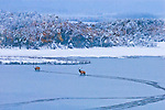 two bull elk crossing a freezing pond