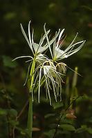 Amaryllidaceae (Amaryllis Family)