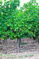 pinot gris vineyard brand gc turckheim alsace france