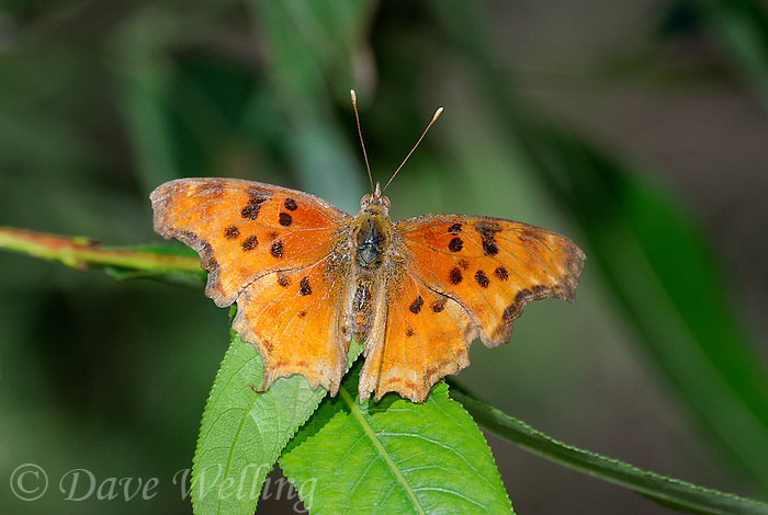 336000001 a wild satyr comma butterfly polygonia satyrus perches on a plant vine near the west fork of the gila river in cartron county new mexico