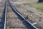 a rooster ringnecked pheasant standing on a rail road track in western Montana