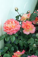 Rosa 'Designer Sunset&rsquo; Patio Rose, pink and yellow roses with white wall, leaf foliage, buds