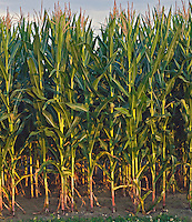Corn, New York, Water Mill, Hamptons, Long Island