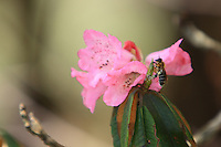 An Apis Laboriosa, the largest social bee in the world, collects propolis on a rhododendron bloom.
