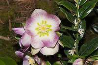Helleborus x ashwoodensis 'Briar Rose' hybrid between H. niger x H. versicarius