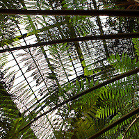 Plant History Glasshouse (formerly Australian Glasshouse), 1834, Charles Rohault de Fleury, Jardin des Plantes, Museum d'Histoire Naturelle, Paris, France. View from below of cyatheales with the glass and metal roof structure in the background.