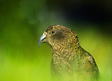 Kea (Nestor notabilis), a large endemic parrot photographed in Arthur's Pass, New Zealand