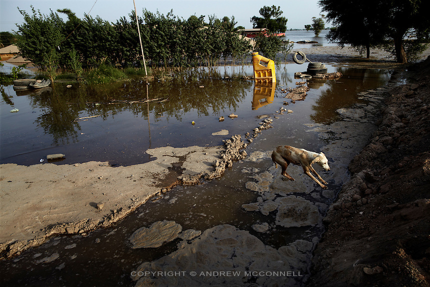 A dog jumps over flood water as it inundates the surrounding area after Manchar Lake bursts its banks. Officials  made a breach in the lake's embankments to direct water away from the nearby cities of Dadu and Sehwan, in Sindh Province, Pakistan.