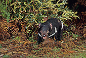 Tasmanian Devil Photographs