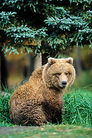 Yearling brown bear cub, Katmai National Park, Alaska