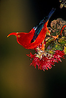 Iiwi in ohia tree, (vestiaria coccinea) this Hawaiian honeycreeper is a nectar feeder and major pollenator of native plants. It is found in Ohia forests above 4,500 ft elevation.