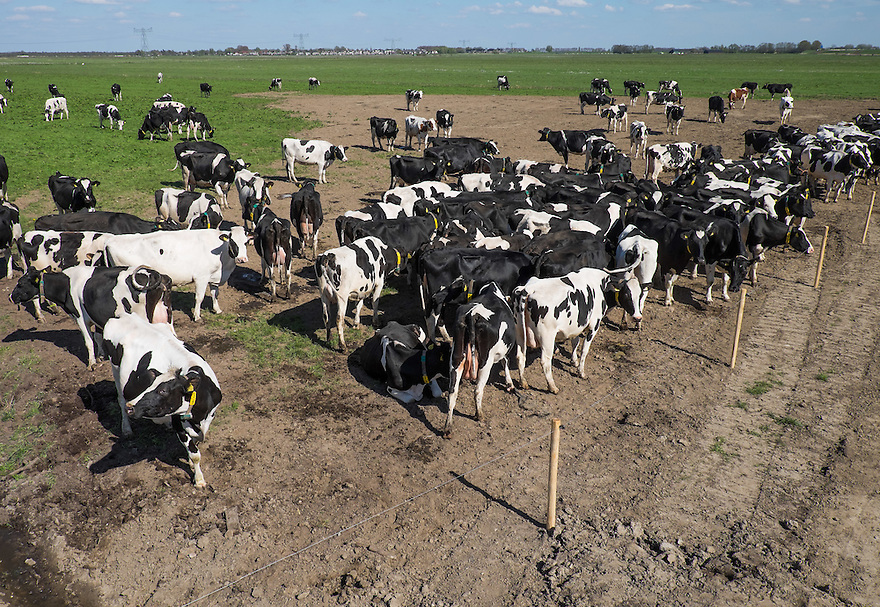 Nederland, Zwartsluis, 2 mei 2015<br /> Natuurboerderij Weidevol. Biologisch melkveebedrijf. <br /> Koeien buiten in de wei. Biologische melkveehouderij. Koeien mogen niet het hele jaar op stal gehouden worden. <br /> Tegen melktijd verdringen de koeien zich voor de ingang naar de melkstal.<br /> <br /> Foto: Michiel Wijnbergh