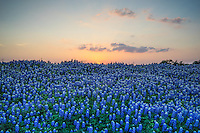 This is a hill of bluebonnets as the sun set in the Texas Hill Country at one of the parks in Marble Falls.