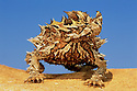 Thorny devil on sand dune; Australia, Western Australia