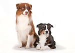 Australian Shepherd Dogs sitting together, relaxed pose, Tri Coloured & Tri Coloured Red, studio