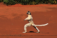 Verreaux's Sifaka jumping and walking locomotion  (Propithecus verreauxi), Berenty Private Reserve, Madagascar