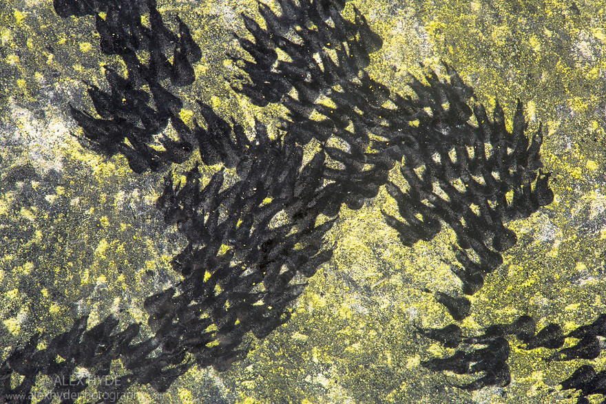 Feeding trails from Common Snails (Helix aspersa) grazing algae growing on black paint. The rows of chitinous, recurved teeth (the cuticula, part of the radula) leave a distinctive zigzag pattern. Derbyshire, UK. April.