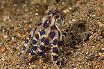 Blue-ringed octopus(Hapalochlaena lunulata).