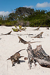 Gardens of the Queen, Cuba; Cuban Iguana's resting on a sandy beach during a sunny afternoon