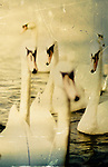 Group of swans swimming on lake
