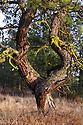 WA11229-00...WASHINGTON - Twisted Ponderosa pine (Pinus ponderosa) along the shore of Kepple Lake in the Turnbull National Wildlife Refuge near Cheney.