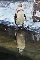 Humboldt penguins (Spheniscus humboldti), a vulnerable species of South American penguin, in the Zone Patagonie of the new Parc Zoologique de Paris or Zoo de Vincennes, (Zoological Gardens of Paris or Vincennes Zoo), which reopened April 2014, part of the Museum National d'Histoire Naturelle (National Museum of Natural History), 12th arrondissement, Paris, France. Picture by Manuel Cohen
