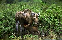 Moose (Alces alces) Nursing Newborn Calf.  Denali National Park, Alaska.