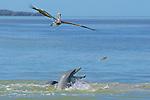 Bottlenose Dolphins Feeding