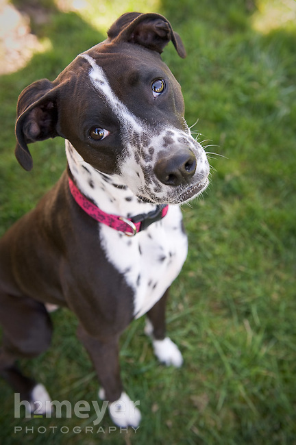 Dalmatian Lab Boxer Pointer Mix | Dog Breeds Picture