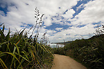New Zealand flax grows along a footpath at Muriwai Beach on the west coast of the North Island of New Zealand.