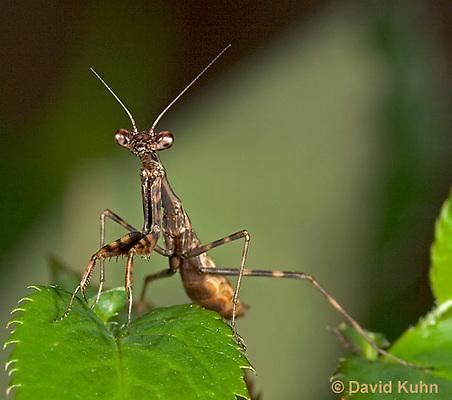 "0203-07nn  Budwing Mantis ""Nymph"" - Parasphendale agrionina ""Nymph"" © David Kuhn/Dwight Kuhn Photography"
