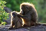 Anubis baboon, Kenya