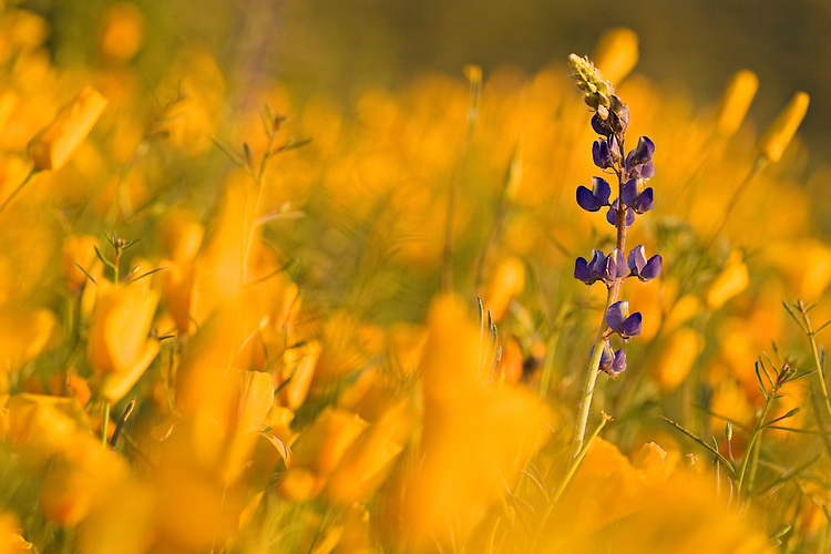 A single Arizona Lupine, Lupinus arizonicus, in a field of Mexican Gold Poppies, Eschscholtzia mexicana, in the Superstition Wilderness Are