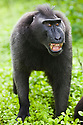 Dominant male crested black macaque with threatening pose in burn-slashed area near village, (Macaca nigra), Indonesia, Sulawesi; Endangered species, threatened through loss of habitat and bush meat trade, species only occurs on Sulawesi.