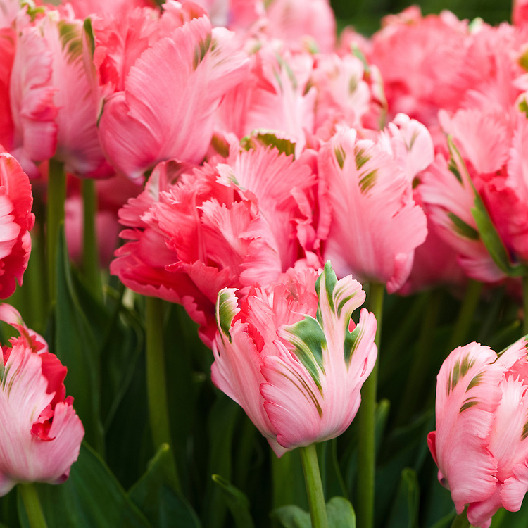 Tulip 'Pink Panther' (Parrot Group), mid May.