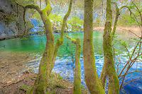 Mossy trees on shore, Plitvice Lakes National Park, Croatia Water-colored from limestone and travertine