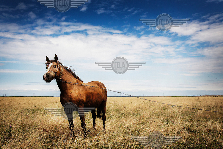 A horse, tethered by a chain, grazes in a field.