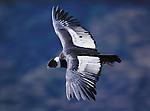 Andean Condor, Patagonia, Argentina