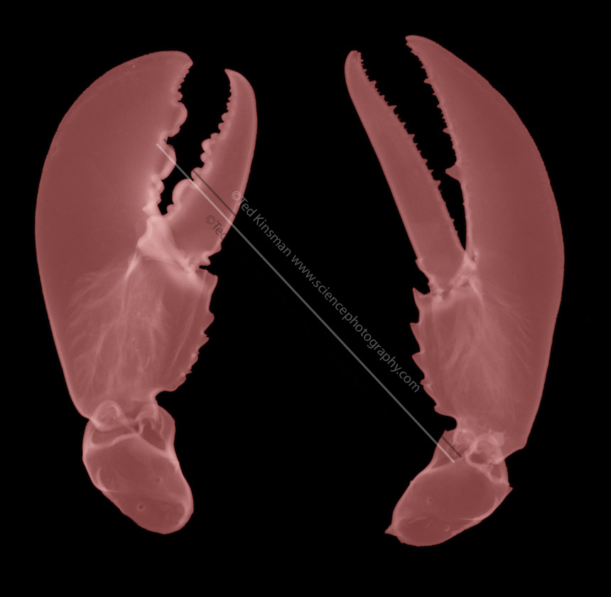 X-ray of a lobster claws. The lobster is a marine crustacean of the order Decapoda, and is related to shrimps and crabs.