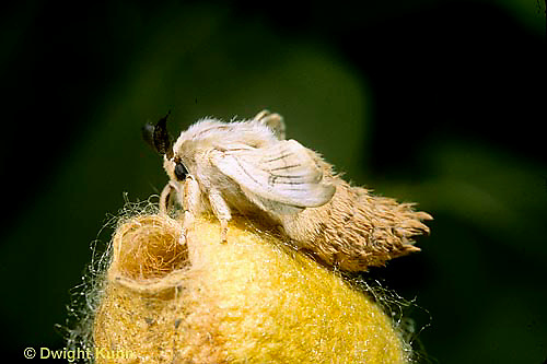 LE42-001a  Silkworm Moth - adult on top of cocoon - just emerged - notice opening