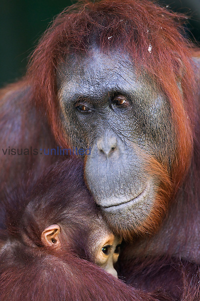 Unyuk, a female Bornean Orangutan (Pongo pygmaeus wurmbii) holding, Ursula, her young orangutan, age 4, Camp Leakey, Tanjung Puting National Park, Central Kalimantan, Borneo, Indonesia. Rehabilitated and released (or descended from) between 1971 and 1995. Portrait June 2010.