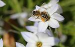 Foto: VidiPhoto<br /> <br /> WAGENINGEN - Wilde bijen, hommels en sluipwespen komen dinsdag poten en vleugels te kort om de uitbundig bloeiende voorjaarsbloemen te ontdoen van stuifmeel en nectar. Het is nu keihard werken voor de insecten om voldoende voedsel binnen te halen. Door de relatief warme dagen en hoeveelheid zon staat plotseling alles tegelijk in bloei. Gevolg is volgens groenambassadeur Aat Rietveld, tevens voormalig bestuurslid van de Nederlandse Bijenhoudersvereniging, dat over enkele weken alles uitgebloeid is en (wilde) bijen een stuifmeelarme periode tegemoet gaan. Zelden is tijdens het voorjaar de bloei van allerlei bloemen en planten zo uitbundig geweest. Bijen kunnen nu een flinke voorraad voedsel aanleggen. Volgens Rietveld belooft dit ook &quot;veel goeds voor de bijenstand volgend jaar.&quot; Tijdens de afgelopen twee winters is de bijensterfte eveneens enorm meegevallen.