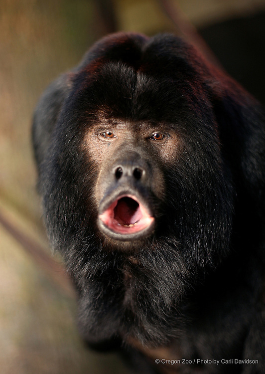 Black Howler Monkey (Alouatta caraya) Shue at the Oregon Zoo