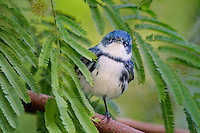 591730010 a wild male cerulean warbler songbird setophaga cerulea - was dendroica cerulea - perches in thick brush on south padre island cameron county texas