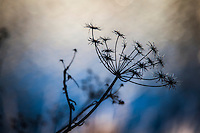 The blackened remains of a sweet fennel plant in silhouette against the soft-focus background of flowing water in San Leandro Creek.
